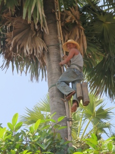Tapping the sugar palm trees to make jaggary