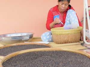 World famous Kampot pepper is carefully sorted and selected